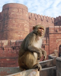 macaque monkey at an Indian temple